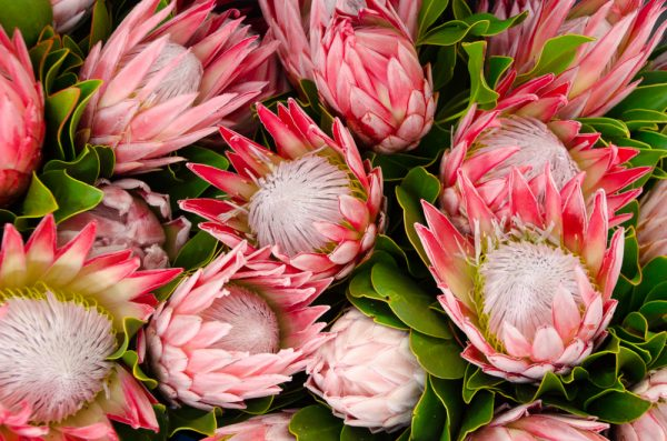 Paint By Numbers - LARGE Protea Bouquet (Pre-Order)
